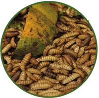 Recolección de larvas mosca soldado