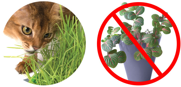 geminador hierba gatera para gatos