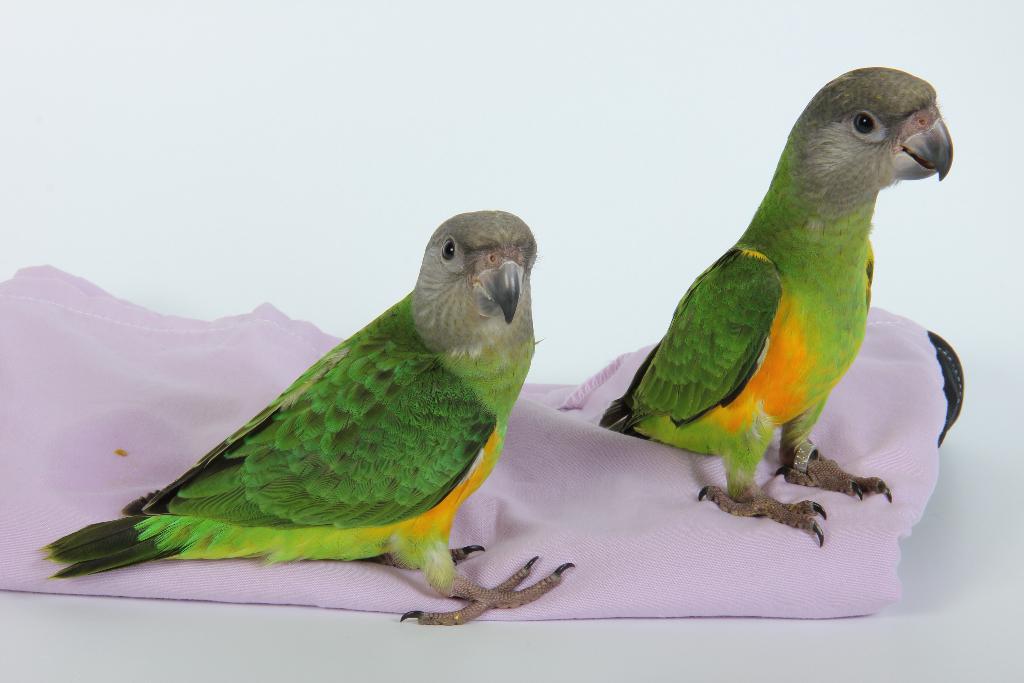Tropican papilla premium 3